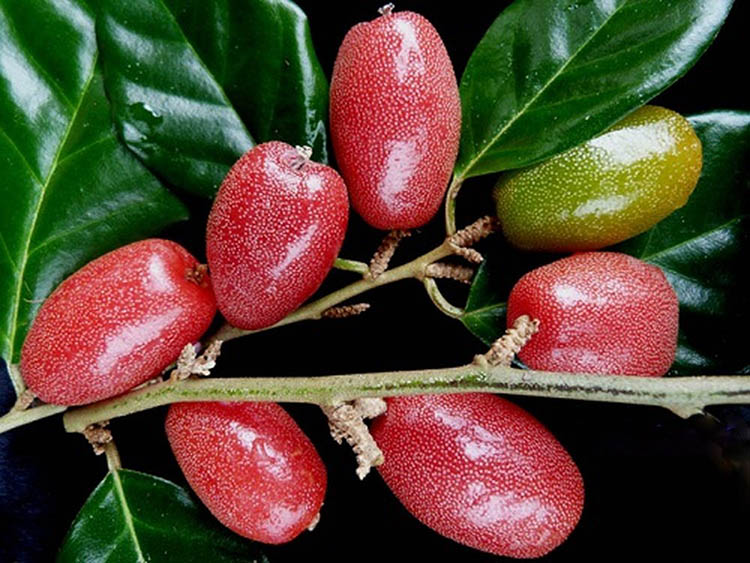 Kết quả hình ảnh cho kỹ thuật trồng nhót ngọt