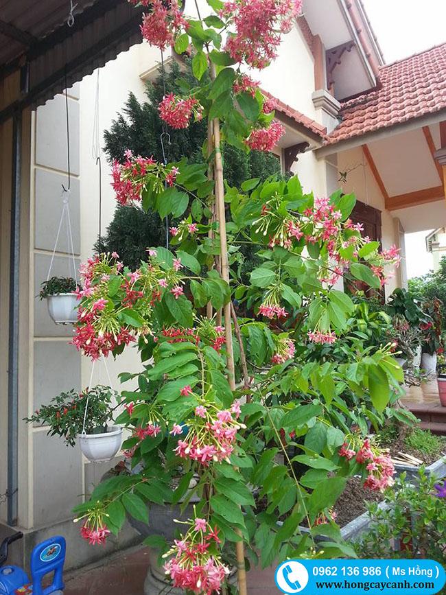 Giống cây leo cho hoa đẹp và thơm
