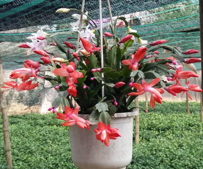 cây hoa càng cua treo giỏ