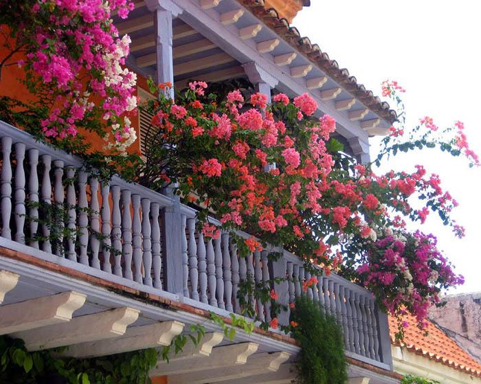 cây hoa giấy leo giàn sân thượng