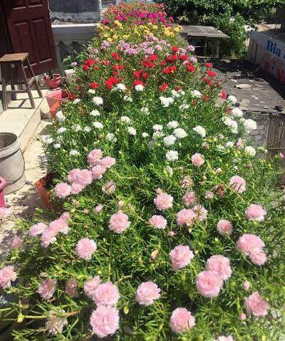cây hoa mười giờ hồng
