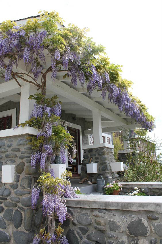 cây hoa tử đằng leo mái nhà