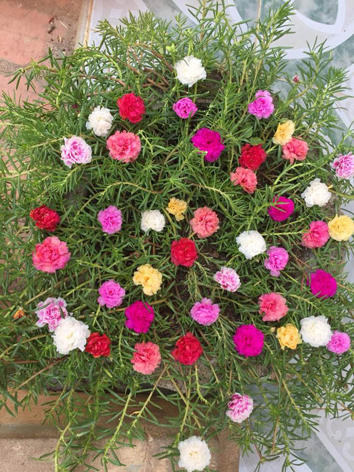 hoa mười giờ thái