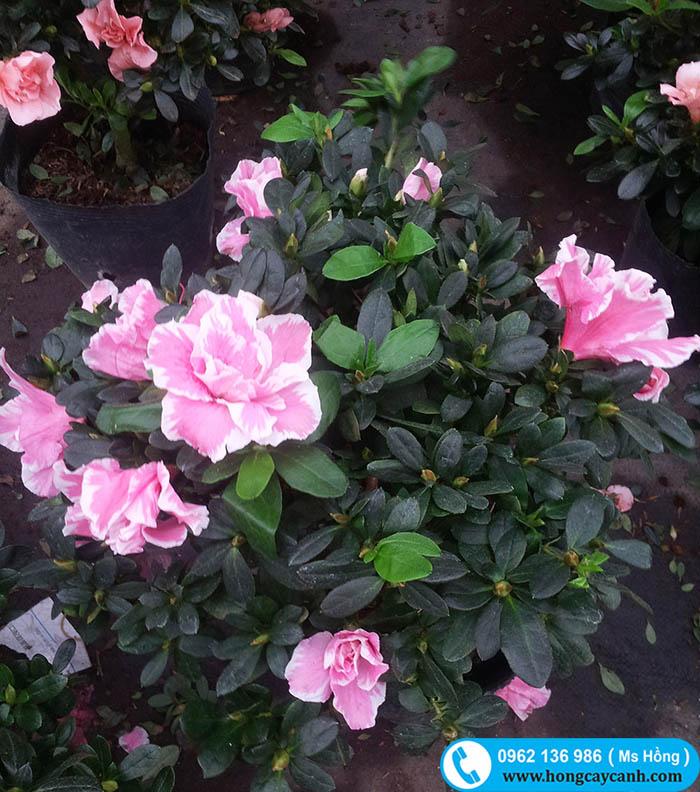 hoa đỗ quyên 2 màu bán tết