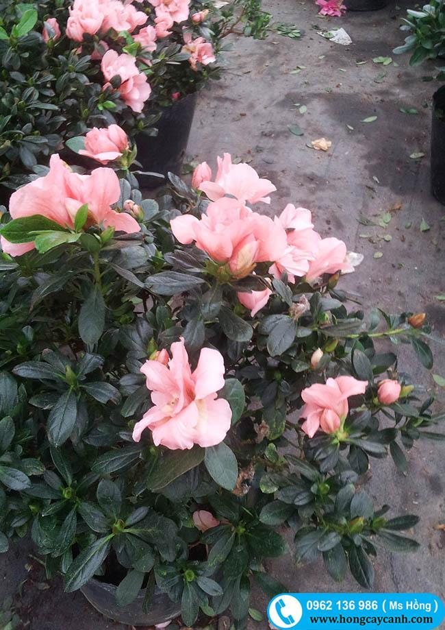 hoa đỗ quyên hồng phai