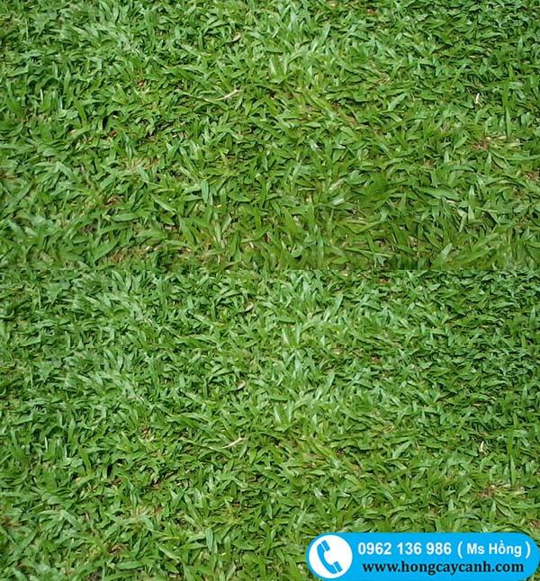 Các cách trồng cỏ lá gừng có thể bạn chưa biết