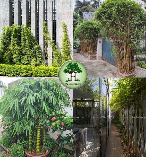 Các loại tre trúc cảnh trồng trang trí sân vườn