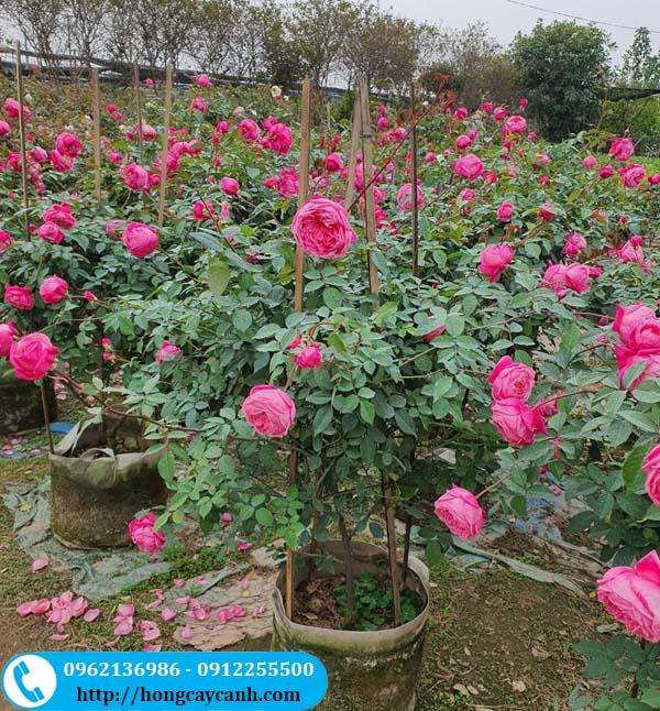 Cách chăm sóc cây hoa hồng cho nhiều hoa