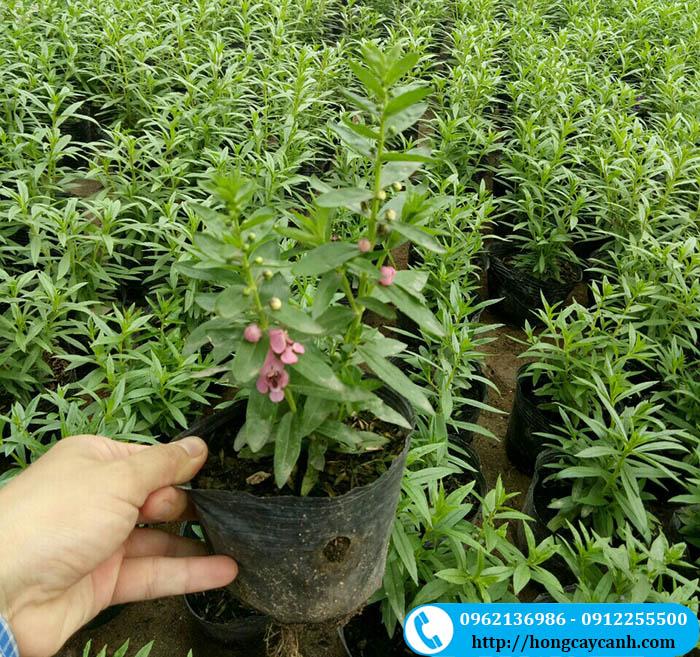 Cách trồng cây hoa violet Nhật xòe cánh rực rỡ