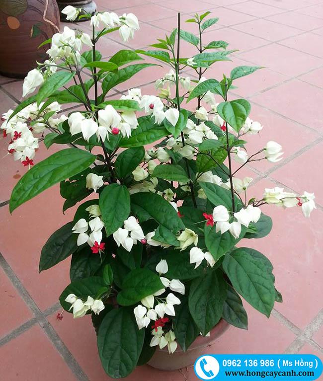 Cách trồng cây ngọc nữ hoa nở đẹp