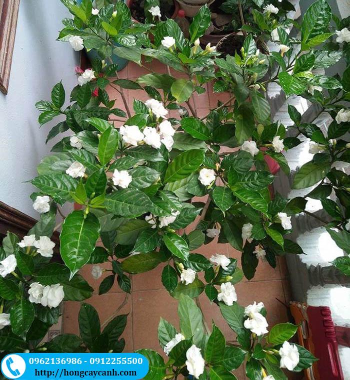 Cây hoa ngọc bút - Tác dụng, cách trồng và chăm sóc