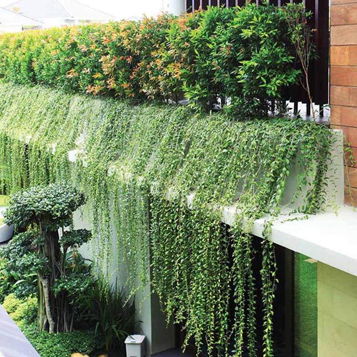 15 cây hoa và dây leo chống nắng mát nhà ngày hè