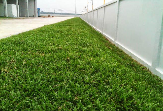 Công dụng của cỏ lá gừng trồng nền