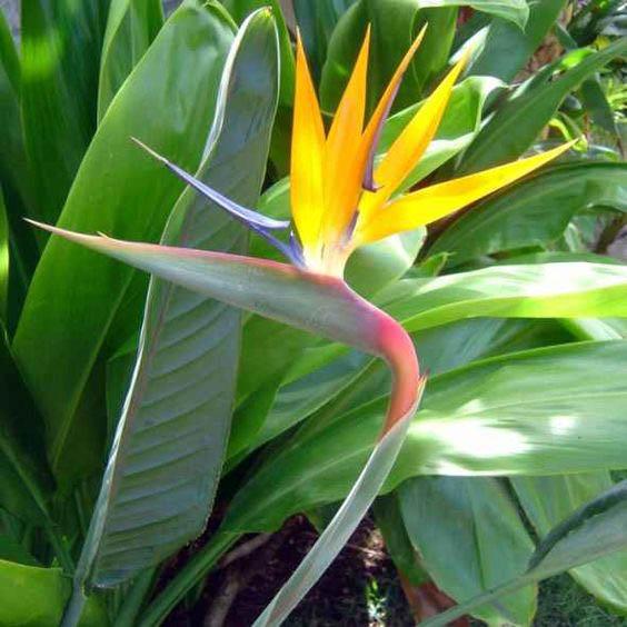Đặc điểm và ý nghĩa hoa thiên điểu – hoa chim đến từ thiên đường