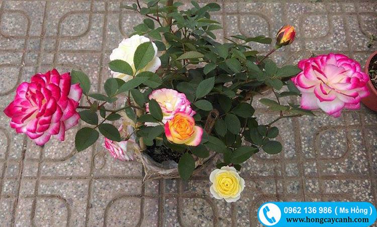 Điều cần biết khi trồng cây hồng đổi màu