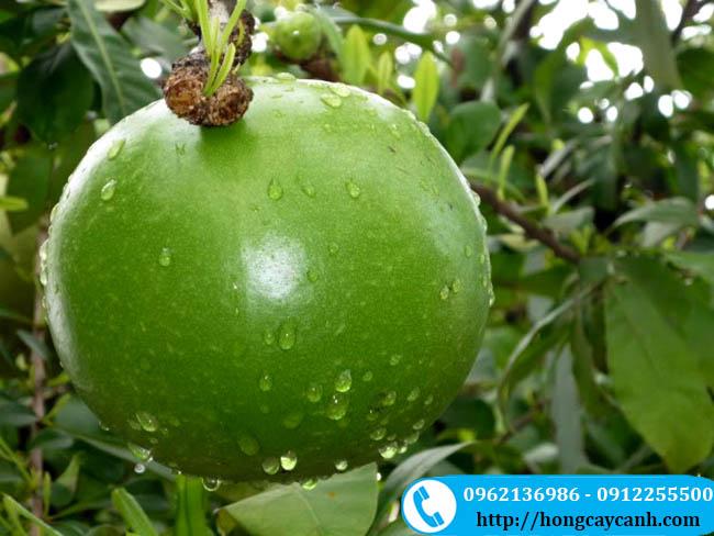 Hướng dẫn kỹ thuật trồng và chăm sóc cây đào tiên sinh trưởng mạnh
