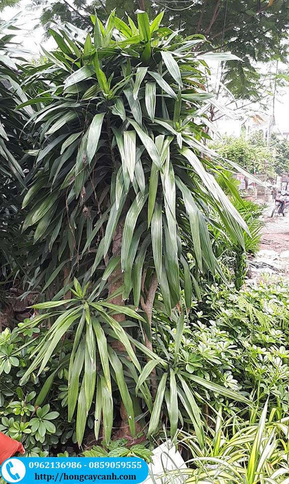 Kinh nghiệm mua cây thanh lan đảm bảo giá tốt