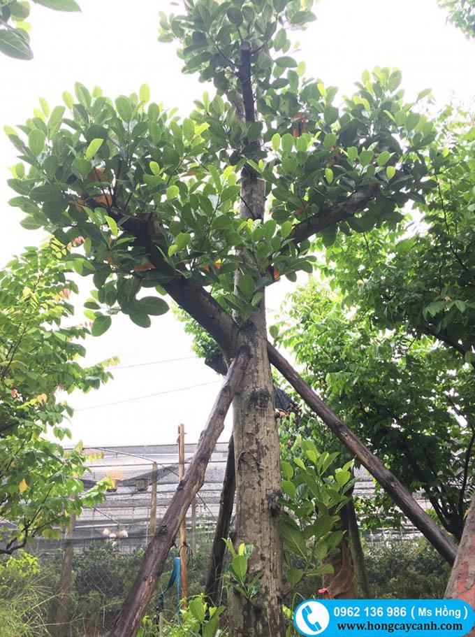 Kỹ thuật trồng cây mít dai cho nhiều quả không bị sâu bệnh