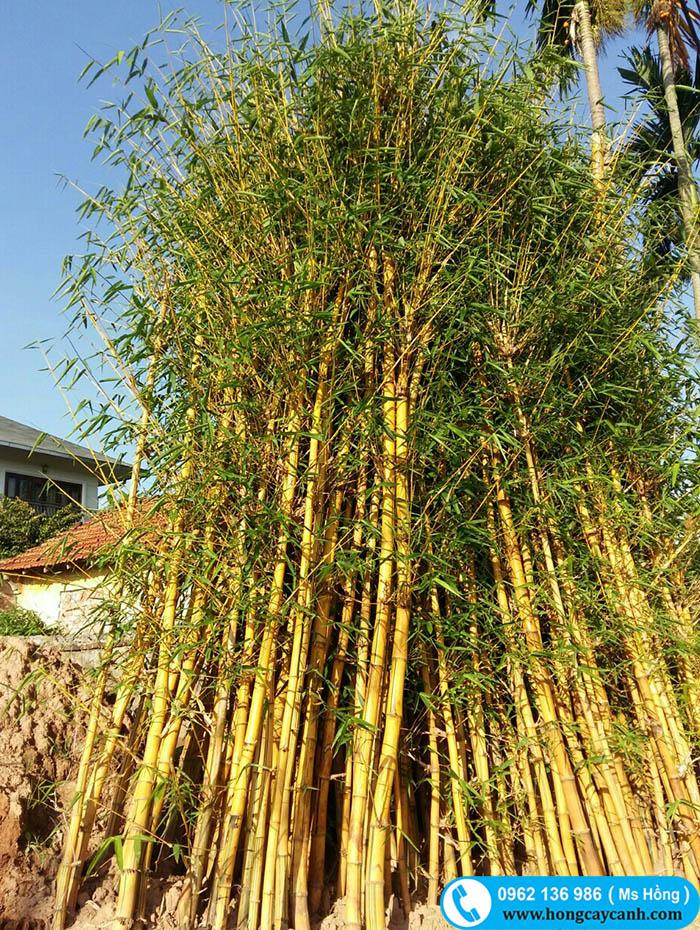 Kỹ thuật trồng và chăm sóc cây tre ngà mang vượng khí vào nhà