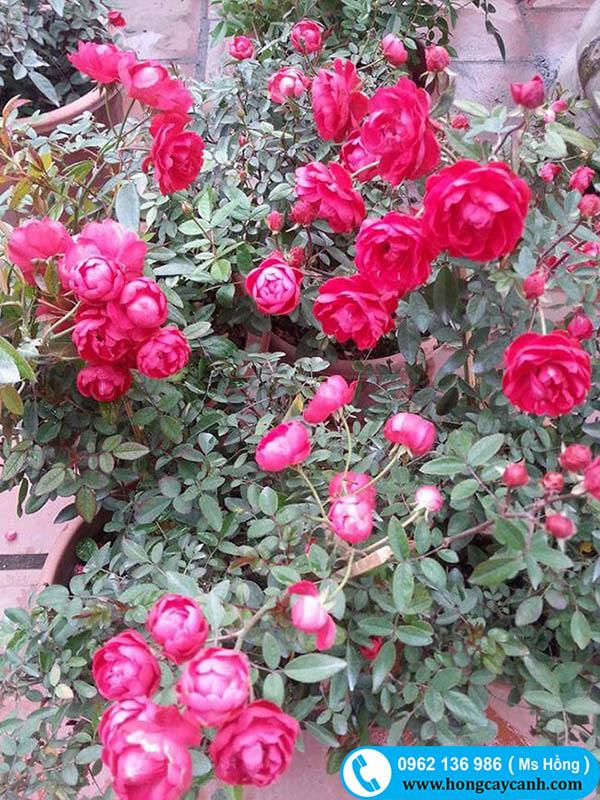 Lợi ích và cách chăm sóc cây hoa hồng trứng