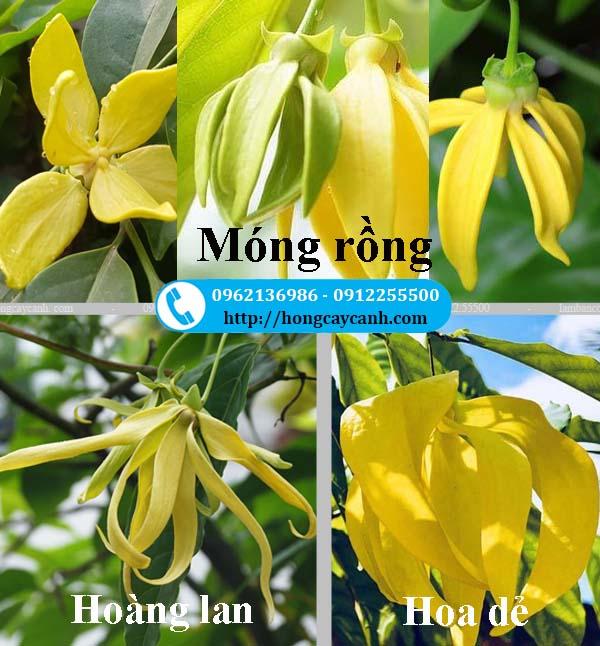 Phân biệt cây Móng Rồng, cây hoàng lan và cây hoa dẻ