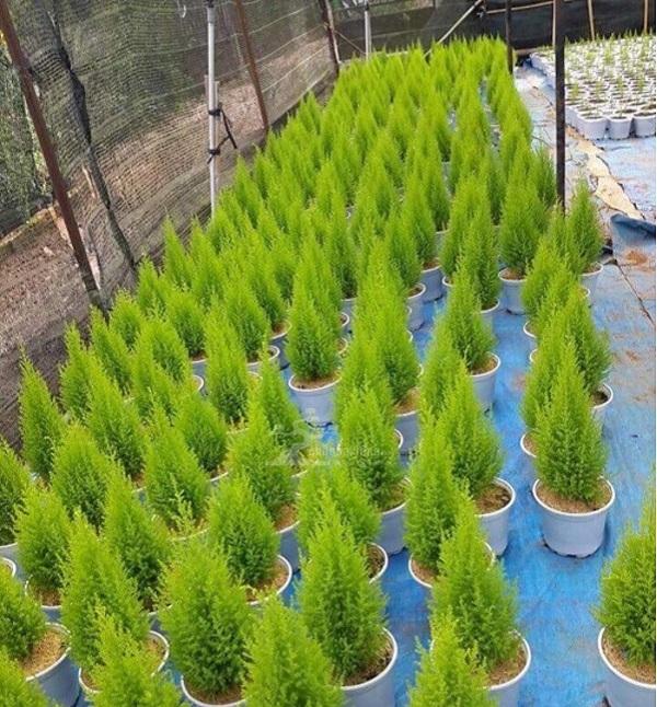 Tuổi Thân nên trồng cây Trắc Bách Diệp