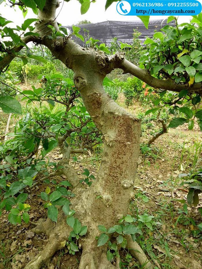 Ý nghĩa và tác dụng của cây sung cảnh trong phong thủy
