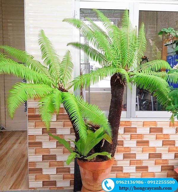 Cây dương xỉ thân gỗ