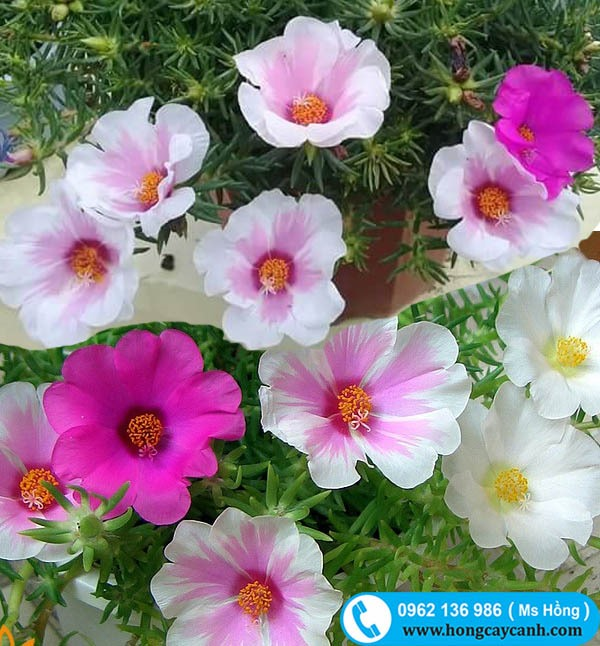 Cây hoa 10h Mỹ