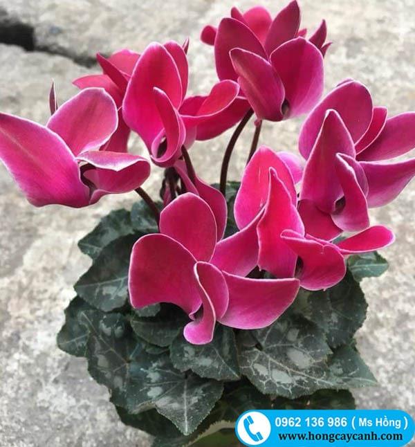 Cây hoa Anh Thảo