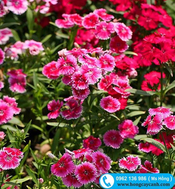 Cây hoa Cẩm Chướng