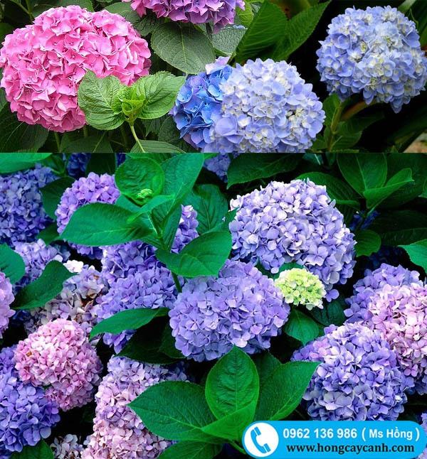 Cây hoa Cẩm Tú Cầu