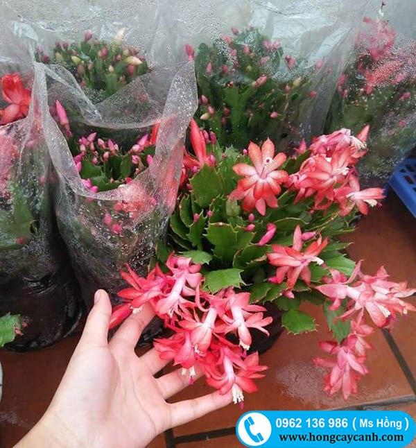 Cây hoa Càng Cua