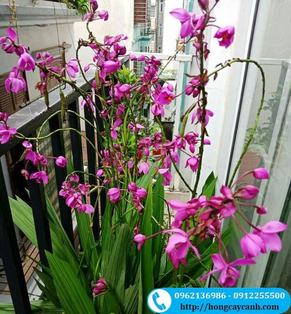 Cây Hoa Chu Đinh Lan