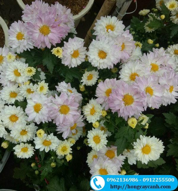 Cây Hoa Cúc Đổi Màu