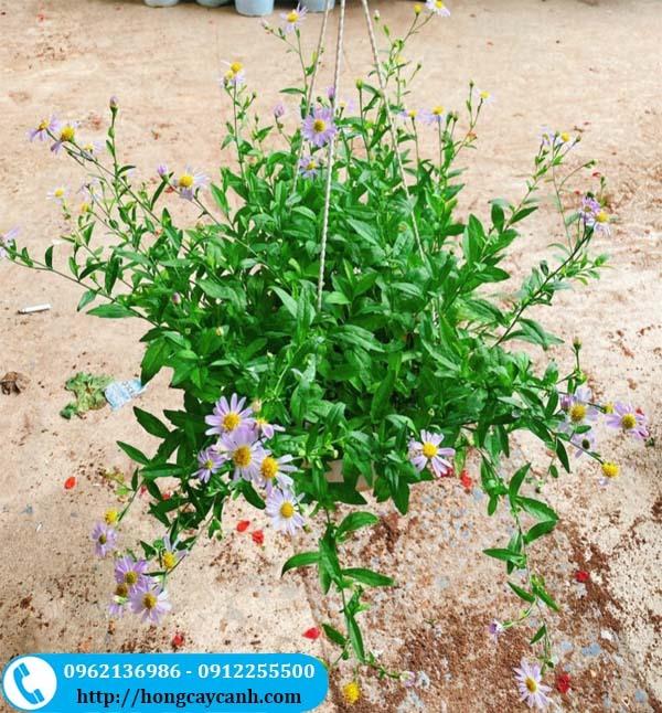 Cây hoa cúc thạch thảo