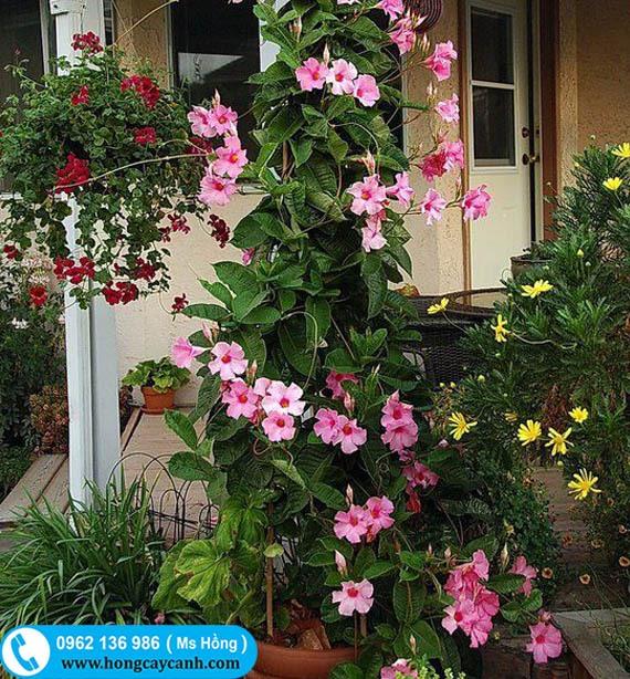 Cây hoa Hồng Anh leo