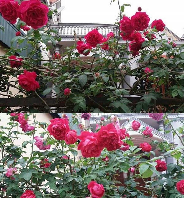 Cây hoa Hồng leo tường vi