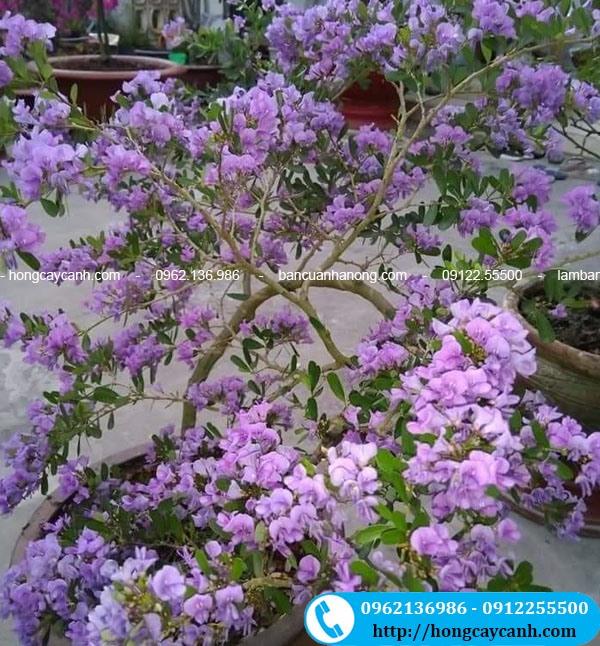 Cây Hoa Linh Sam