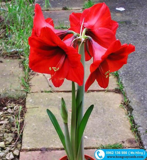 Cây hoa loa kèn