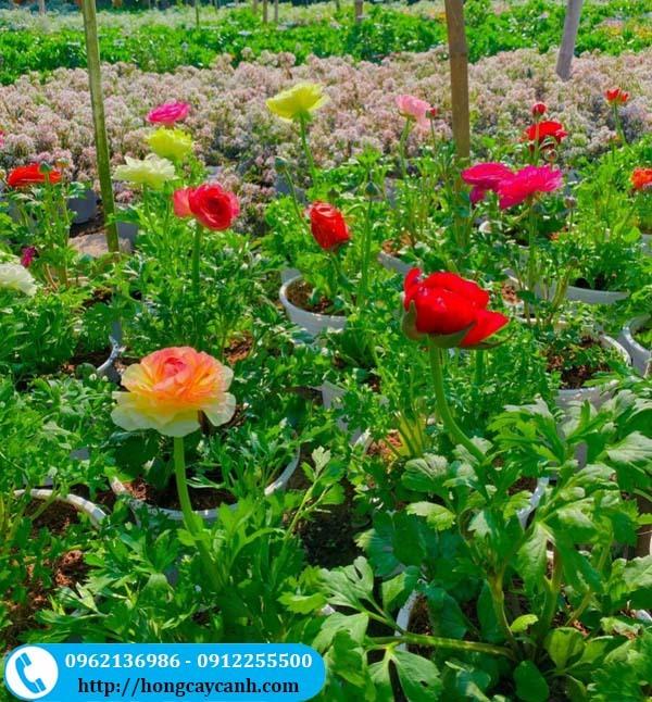 Cây hoa mao lương