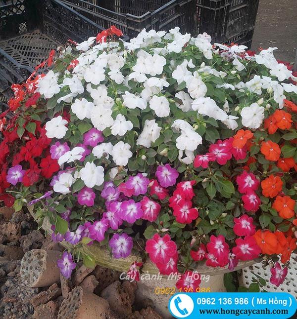 Cây hoa Ngọc Thảo Đơn