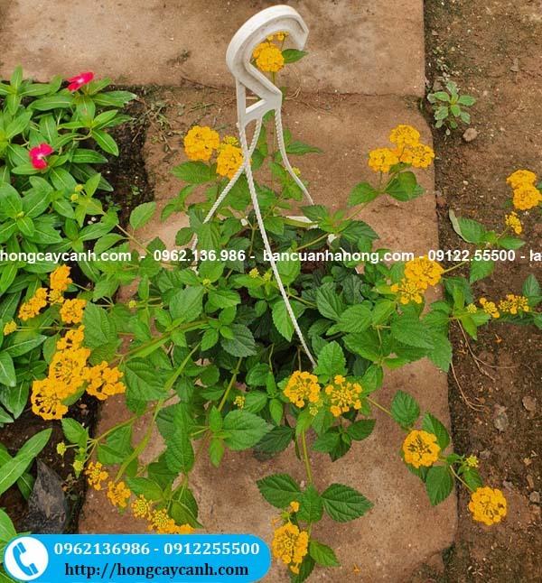 Cây hoa ngũ sắc vàng rủ