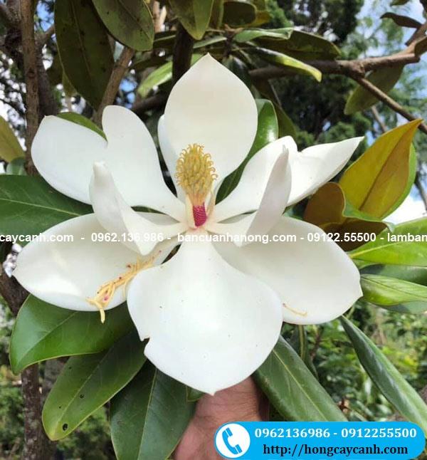 Cây hoa Sen Đất