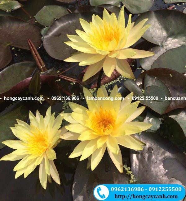 Cây Hoa Súng Thái