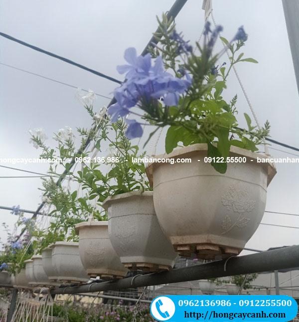 Cây hoa Thanh Xà, Bạch Xà