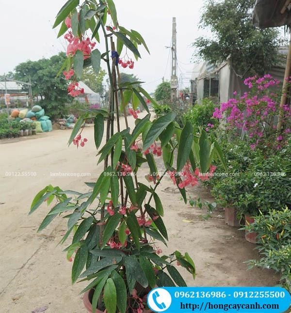 Cây hoa Trúc Pháp