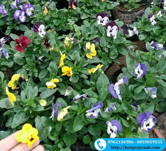 Cây Hoa Viola