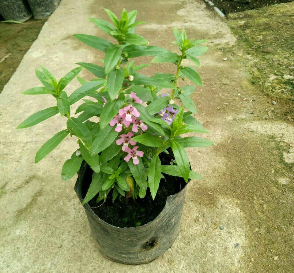 Cây hoa Violet nhật