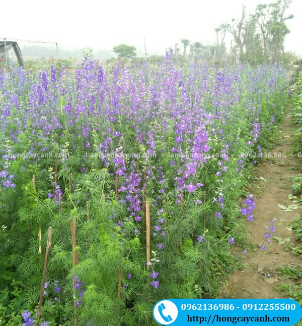 Cây hoa Violet tím
